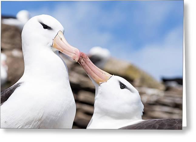 Black-browed Albatross (thalassarche Greeting Card