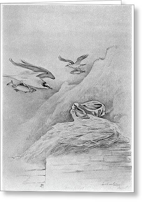 Blackburn Birds, 1895 Greeting Card by Granger