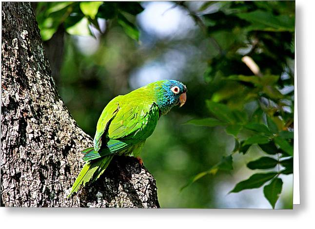 Blue-crowned Parakeet Greeting Card