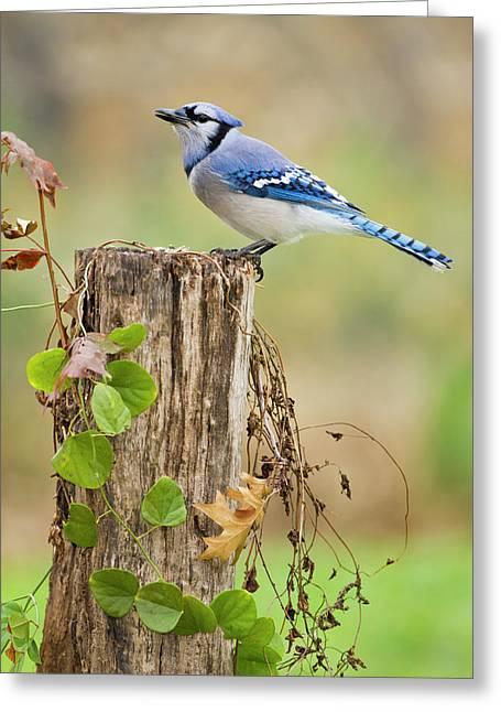 Blue Jay (cyanocitta Cristata Greeting Card