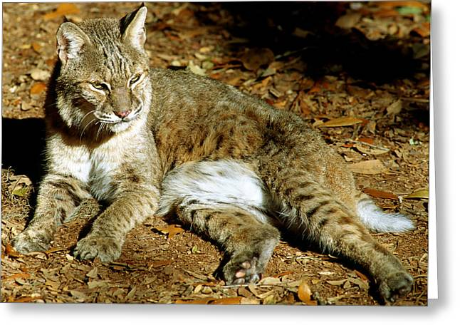 Bobcat Greeting Card