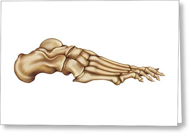 Bones Of The Foot Greeting Card by Asklepios Medical Atlas