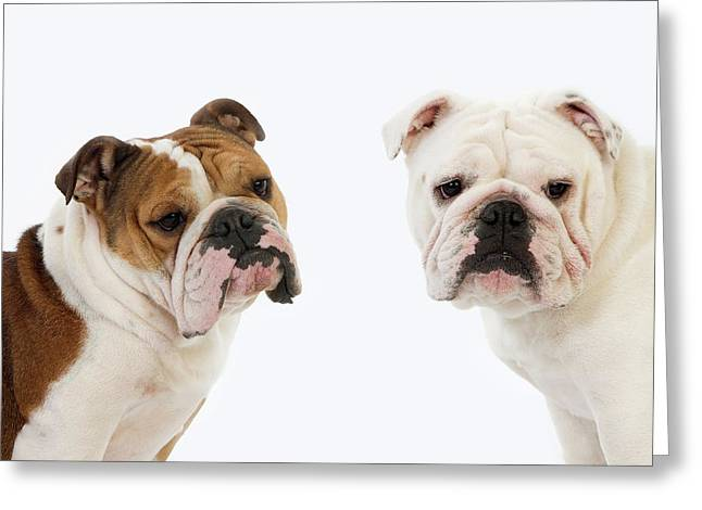 Bulldog Anglais Greeting Card
