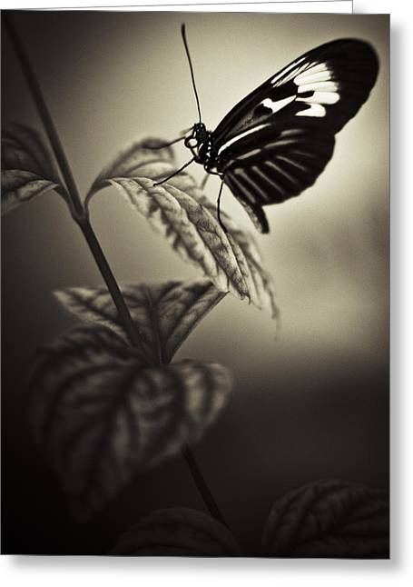 Butterfly Brown Tone Greeting Card