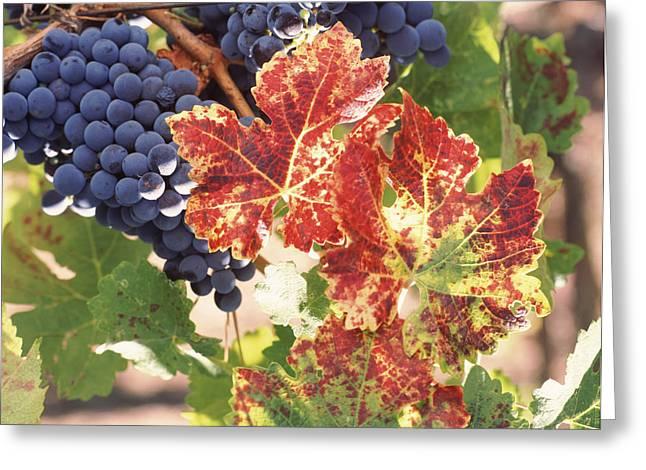 Cabernet Sauvignon Grapes In Vineyard Greeting Card