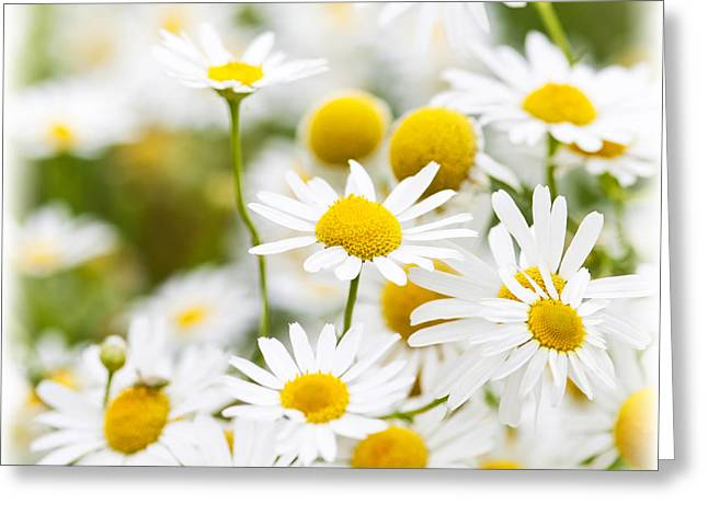 Chamomile Flowers Greeting Card