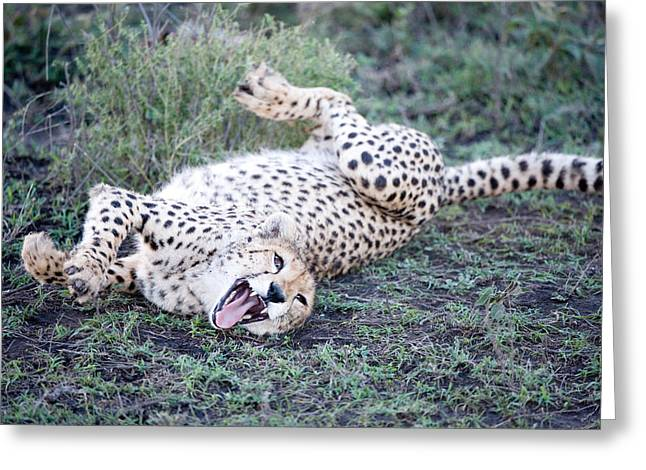 Cheetah Acinonyx Jubatus Resting Greeting Card