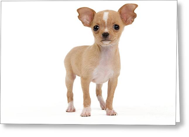 Chihuahua Puppy Dog Greeting Card by Jean-Michel Labat
