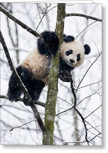 China, Chengdu Panda Base Greeting Card