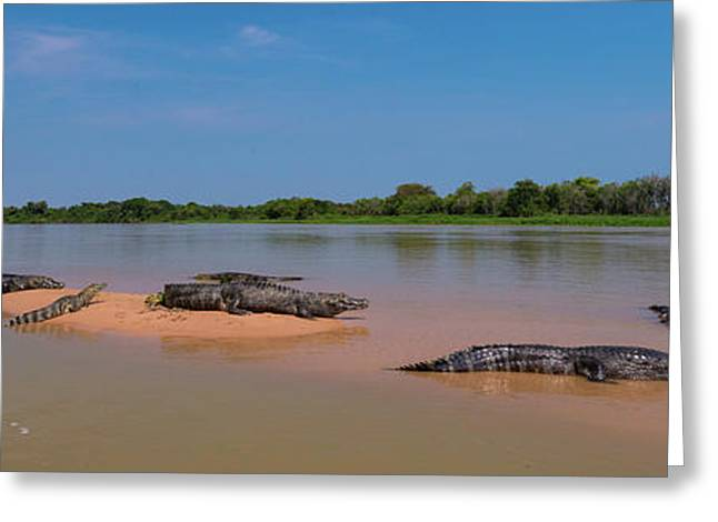 Close-up Of Yacare Caimans Caiman Greeting Card by Panoramic Images