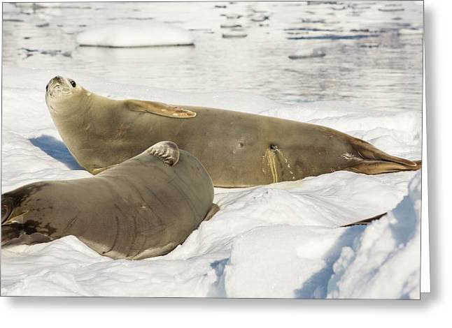 Crabeater Seal Greeting Card by Ashley Cooper