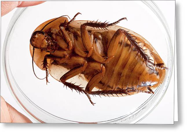Death's Head Cockroach Greeting Card by Pascal Goetgheluck/science Photo Library