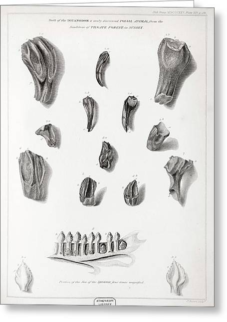 Discovery Of Iguanodon Fossil Teeth Greeting Card by Paul D Stewart