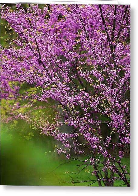 Eastern Redbud (cercis Canadensis) Greeting Card by Maria Mosolova