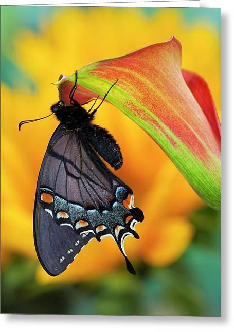 Eastern Tiger Swallowtail, Black Form Greeting Card