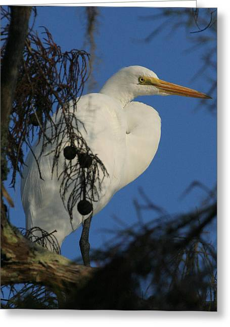 Egret Greeting Card by Jeff Wright