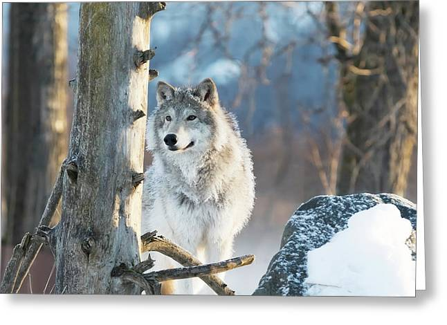 Female Gray Wolf  Canis Lupus Greeting Card