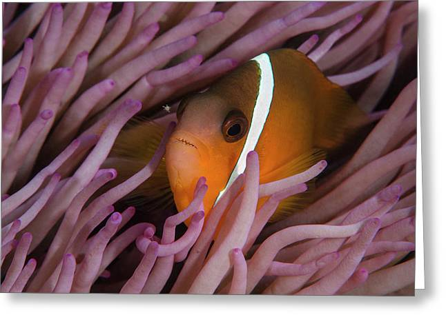 Fiji Anemone Fish (amphiprion Barberi Greeting Card by Pete Oxford