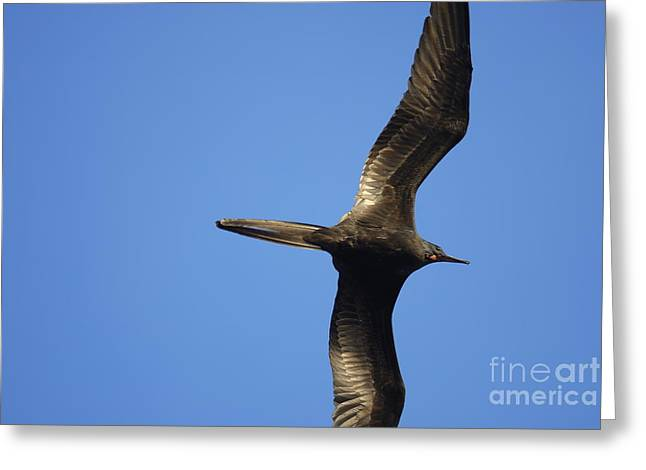 Flying Great Frigate Greeting Card