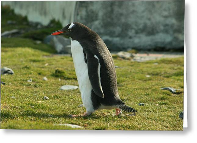 Gentoo Penguin Greeting Card by Amanda Stadther