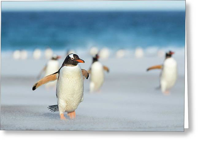 Gentoo Penguin (pygoscelis Papua Greeting Card