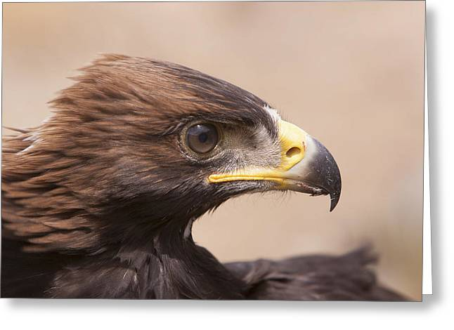 Glaring Eagle Greeting Card by Jim Snyder