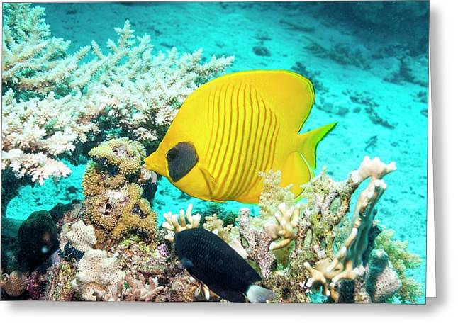 Golden Butterflyfish On A Reef Greeting Card by Georgette Douwma