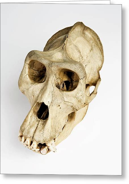 Gorilla Skull Greeting Card by Ucl, Grant Museum Of Zoology