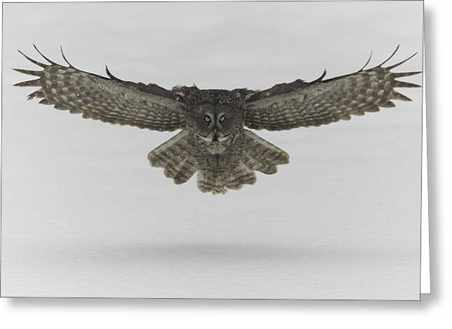 Great Grey Owl In Flight Greeting Card