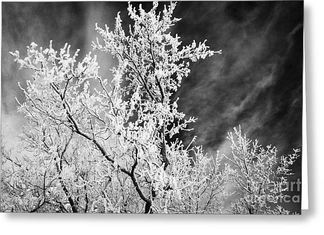 hoar frost on bare tree branches during winter Forget Saskatchewan Canada Greeting Card by Joe Fox