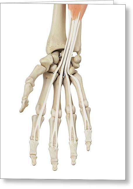 Human Hand Anatomy Greeting Card by Sciepro