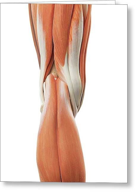 Human Knee Muscles Greeting Card