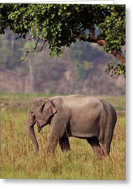 Indian Asian Elephant, Corbett National Greeting Card by Jagdeep Rajput