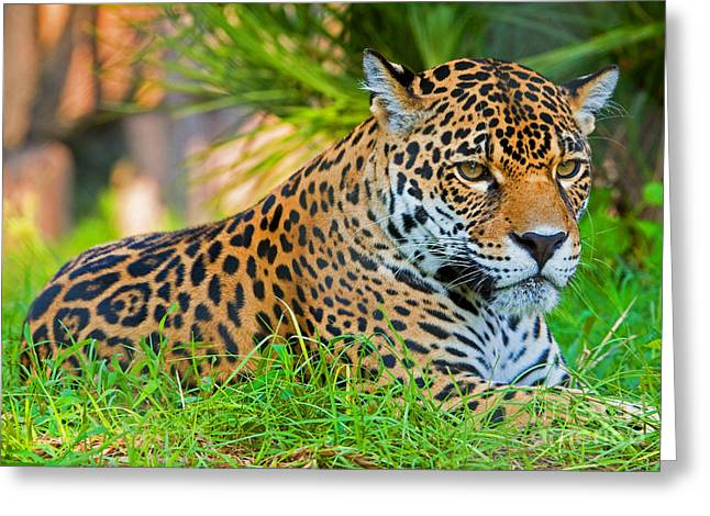 Jaguar Greeting Card by Millard H. Sharp