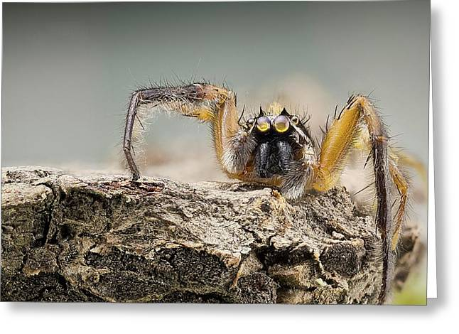 Jumping Spider Greeting Card by Nicolas Reusens