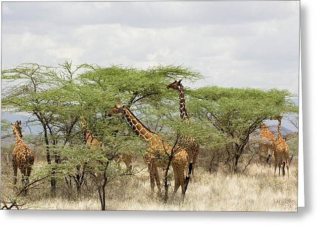 Kenya, Samburu National Reserve Greeting Card