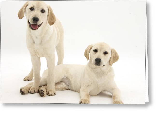 Labrador Retriever Puppies Greeting Card by Mark Taylor
