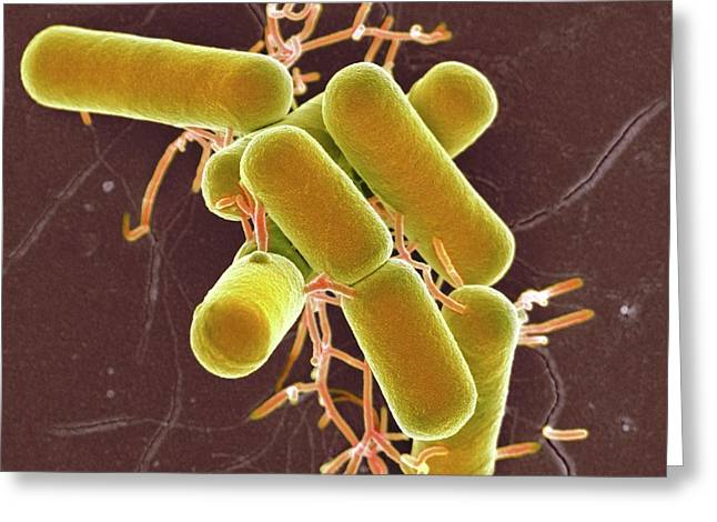 Lactobacillus Bacteria Greeting Card by Science Photo Library