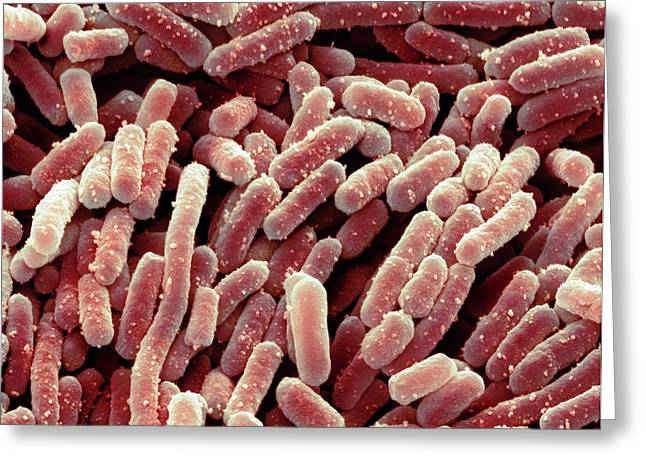 Lactobacillus Bacteria Greeting Card by Steve Gschmeissner
