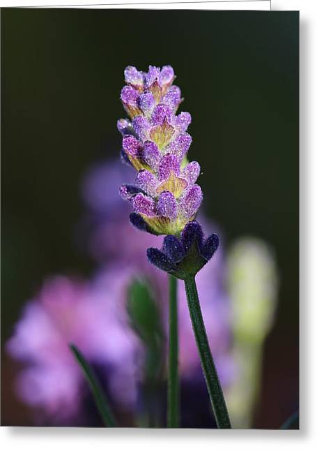 Lavender Greeting Card by Heike Hultsch