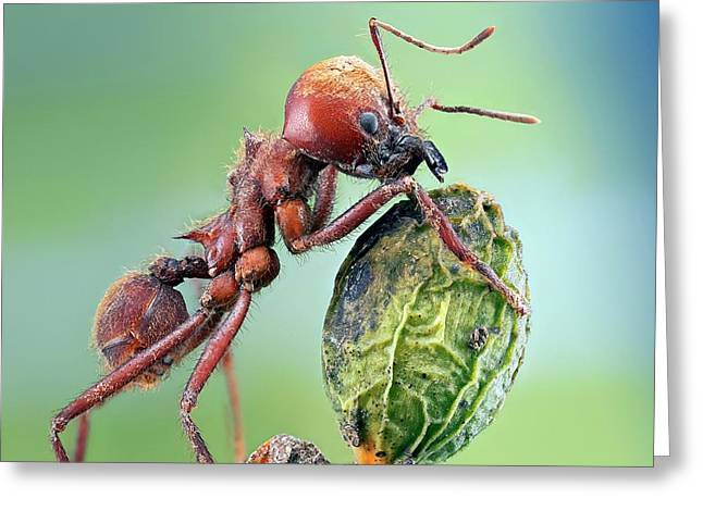 Leafcutter Ant Greeting Card