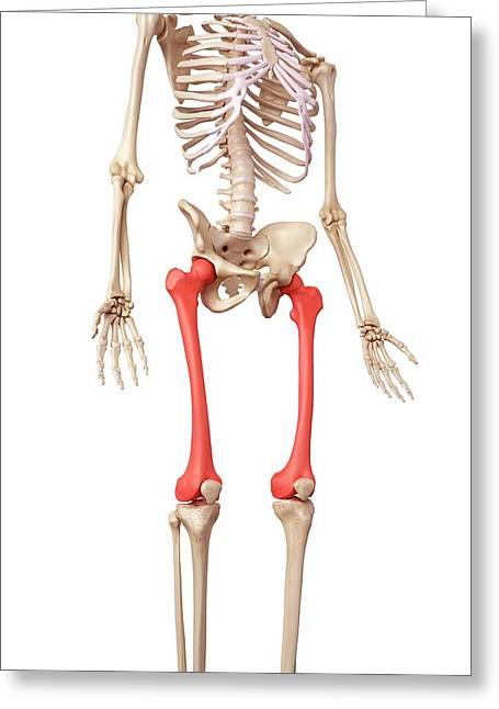 Leg Bones Greeting Card by Sebastian Kaulitzki/science Photo Library