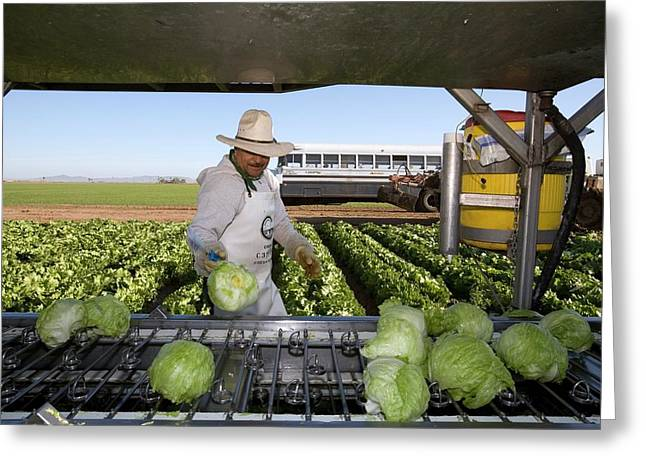 Lettuce Harvest Greeting Card by Jim West