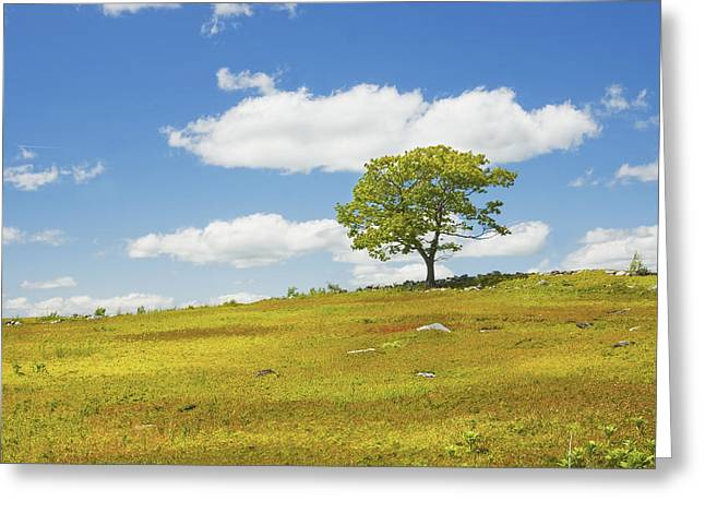 Lone Tree With Blue Sky In Blueberry Field Maine Greeting Card
