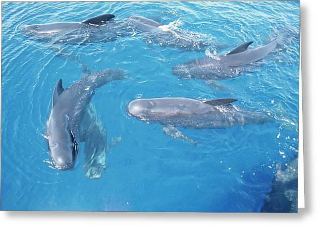 Long-finned Pilot Whales Greeting Card by Christopher Swann/science Photo Library
