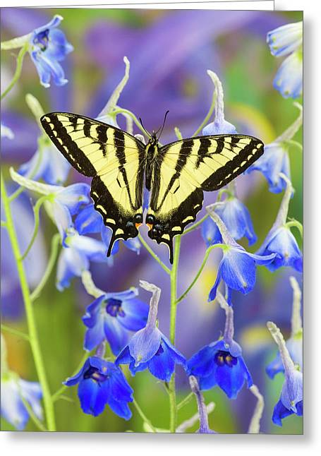 Male Western Tiger Swallowtail Greeting Card by Darrell Gulin