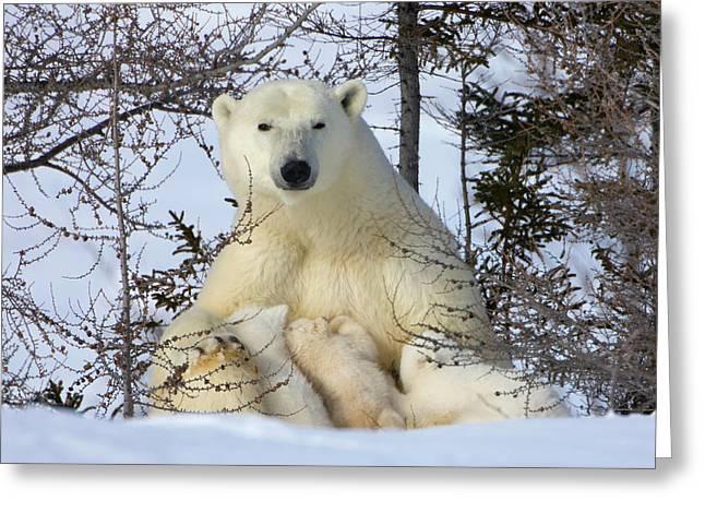 Mother Polar Bear With Three Cubs Greeting Card