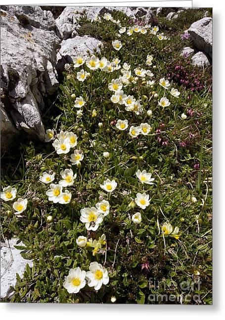 Mountain Avens Dryas Octopetala Greeting Card by Bob Gibbons