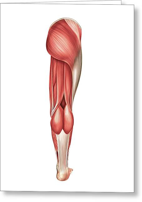 Muscles Of The Leg Greeting Card by Asklepios Medical Atlas