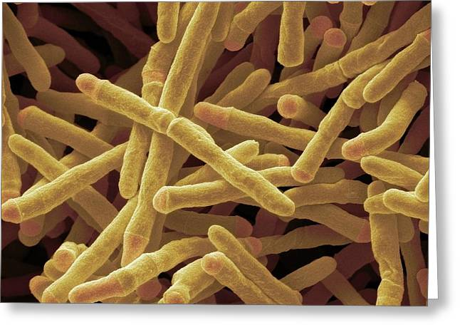 Mycobacterium Smegmatis Bacteria Greeting Card by Steve Gschmeissner